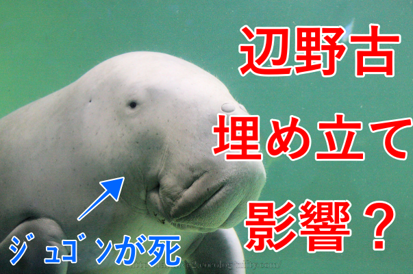 【驚愕!】今帰仁港で発見のジュゴンは辺野古埋め立ての影響?ネットの反応も紹介!